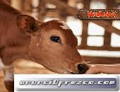 Conoce más de 20 razas de bovinos en PANACA