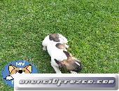 Bulldog francés pied fawn hembras de 3 meses