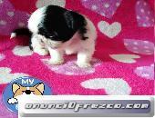 Shih tzu macho pequeñito miniatura
