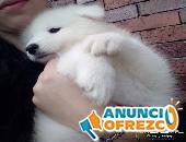 Cachorros de la raza samoyedo hembras y machos disponibles