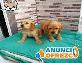 Cocker spaniel hembras y machos, whatsapp 3054688674
