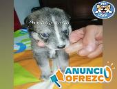 Encantador perro pomsky macho
